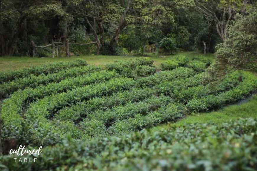tea farm terraced